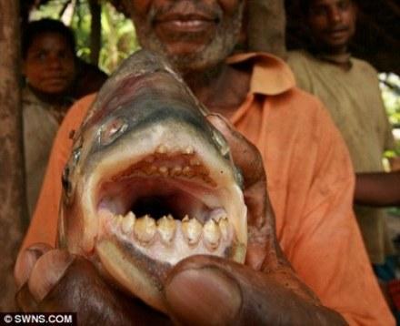 Ikan pacu Jenis Piranha